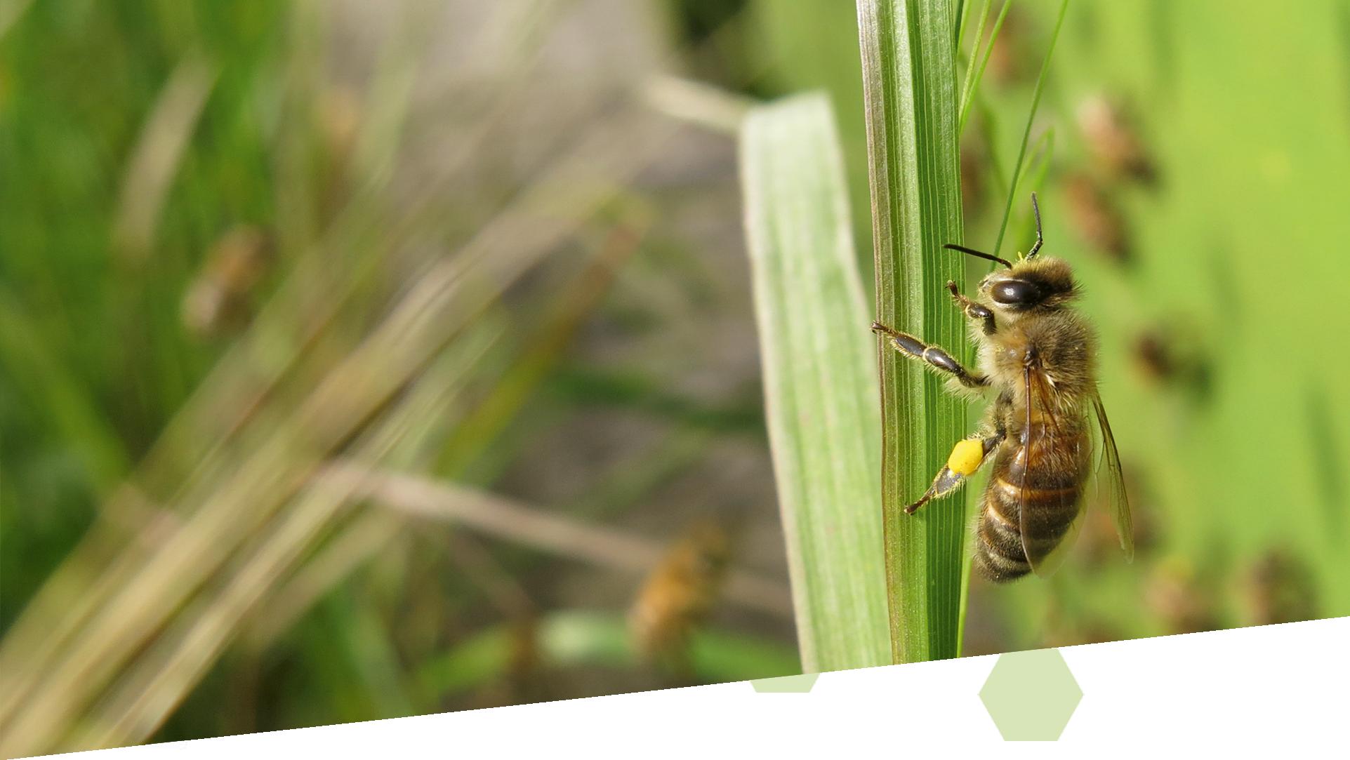 Bienenhintergrund