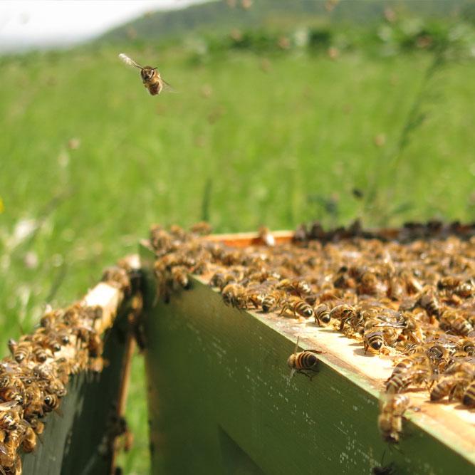 Anflug Biene