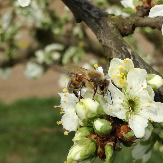 Biene an Obstblüte